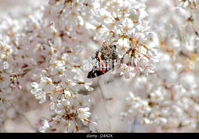 Red Admiral butterfly and weeping cherry blossoms - Stock Image