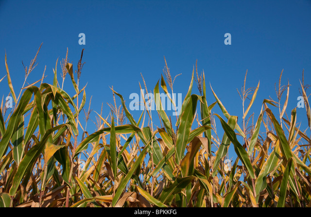 Field Corn Late Summer Michigan USA - Stock Image