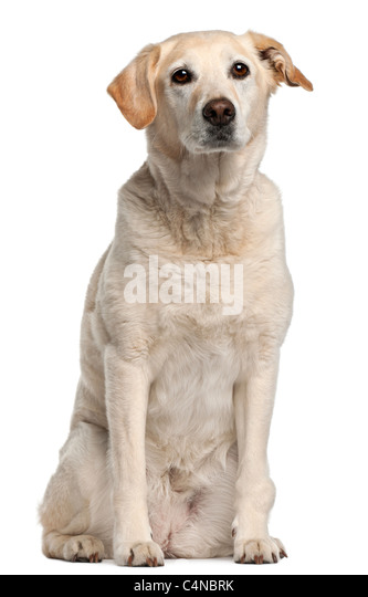 Mixed-breed dog, 12 years old, sitting in front of white background - Stock Image
