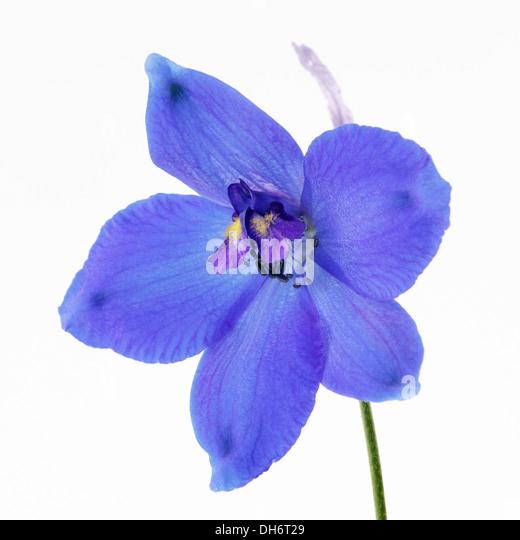 Delphinium - Stock Image