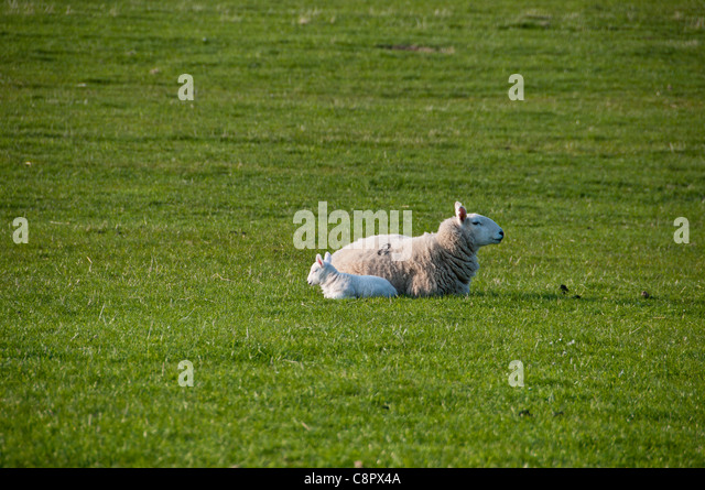 Baby lamb with its mother sitting on green grass in sunshine - Stock Image