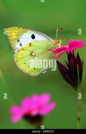 Pale Clouded Yellow (Colias hyale), sitting on a pink, Germany - Stock-Bilder
