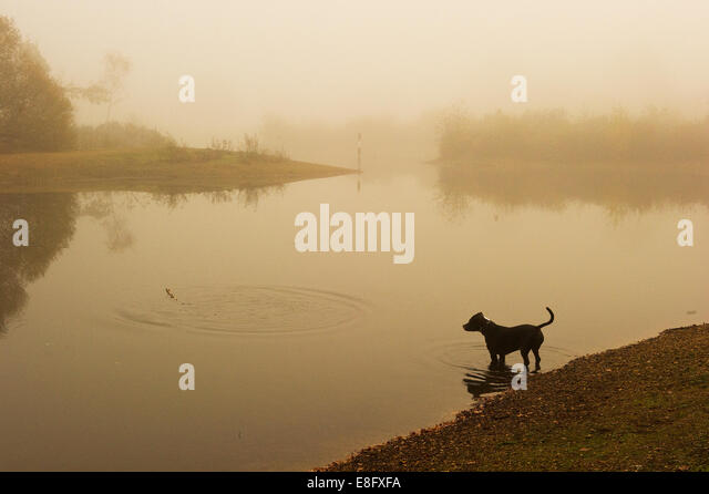 Dog standing at the edge of lake - Stock Image