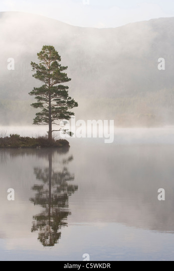 Scots Pine (Pinus sylvestris) in mist. Loch an Eilein, Rothiemurchus, Cairngorms National Park, Scotland, Great - Stock-Bilder