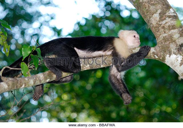 White-faced capuchin monkey - Stock Image