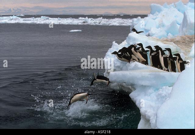 Adelie penguin Pygoscelis adeliae Group diving off ice into sea Cape Bird Ross Island Antarctica - Stock Image
