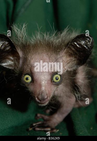 Young Aye-aye born in captivity, UK - Stock-Bilder