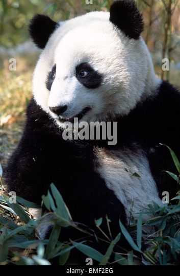 Giant Panda, Sichuan, China - Stock Image