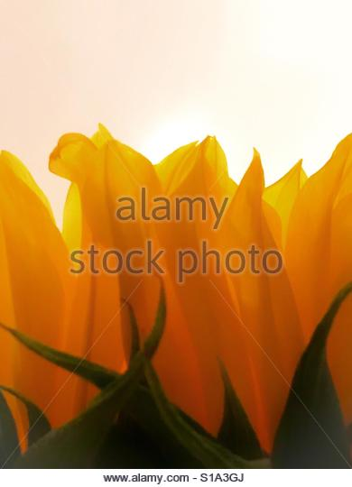 Sun flower - Stock Image