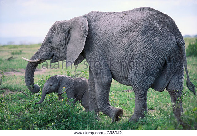 African elephant and calf - Stock Image