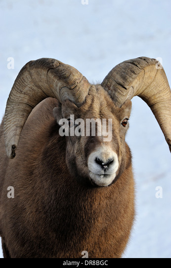 A vertical front view of a bighorn ram looking forward - Stock Image