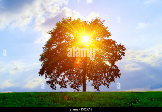 An isolated tree with sunlight effect. - Stock Image