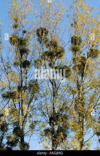 Mistletoe growing on line of Poplar trees, Indre, France. - Stock Image