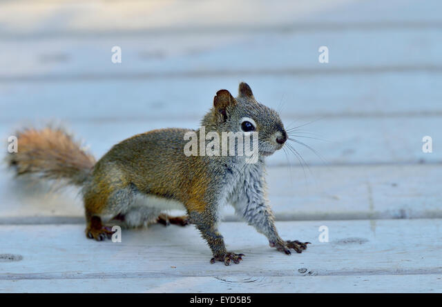 A wild red squirrel Tamiasciurus hudsonicus;  on an outdoor board walk near Hinton Alberta Canada. - Stock Image