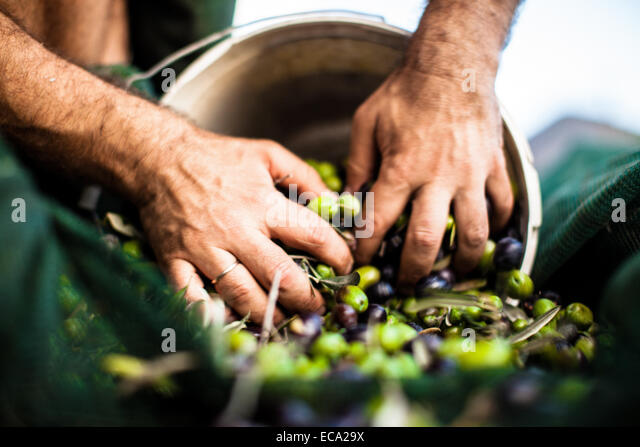 Man pushing olives in bucket - Stock Image