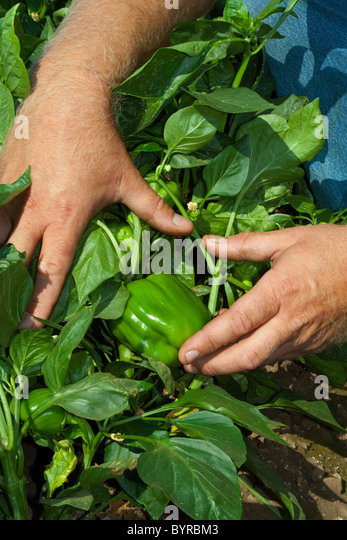 A farmer pulls the foliage back to show his ripe green bell peppers on the bush, ready for harvest / near Dixon, - Stock Image