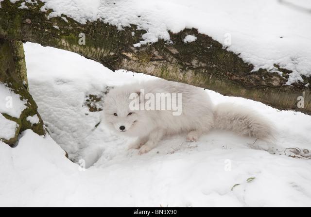Arctic fox at Dresden Zoo - Stock Image