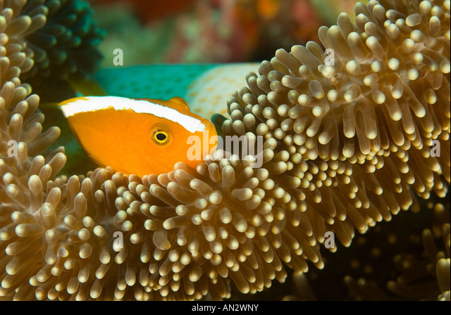 Orange anemonefishes Amphiprion sandaracinos in a Merten s sea anemone Komodo National Park Indonesia - Stock Image