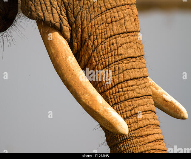 The tusks of an African elephant. - Stock Image
