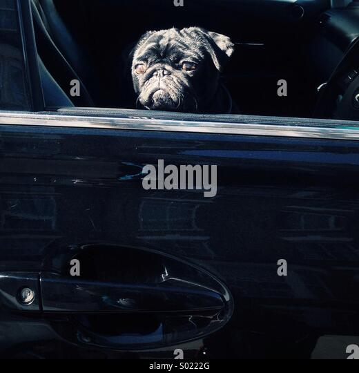 Close up of a black pug sitting In a black car - Stock Image
