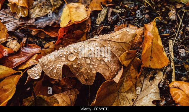 Water Drops On Fallen Leaves - Stock Image