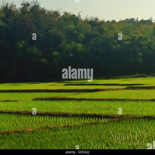Rice field - Stock Image