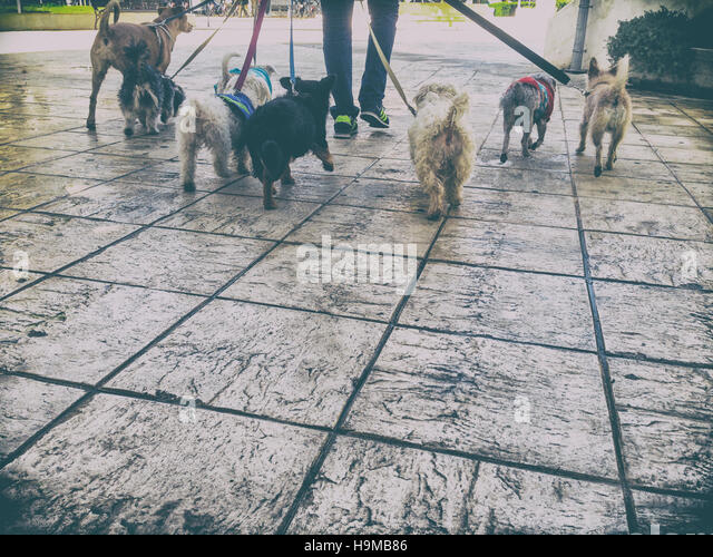 Professional dog walker with a bunch of dogs in the old city of Seville, Spain - Stock Image