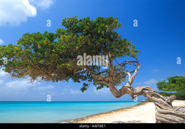 CARIBBEAN Aruba Beach Divi Divi Tree side view with sparkling water in background blue sky - Stock Image