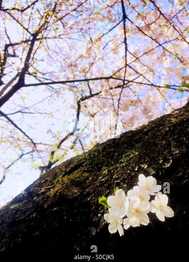 Beautiful white sakura or cherry blossoms in Spring, blooming straight from the tree trunk. - Stock Image