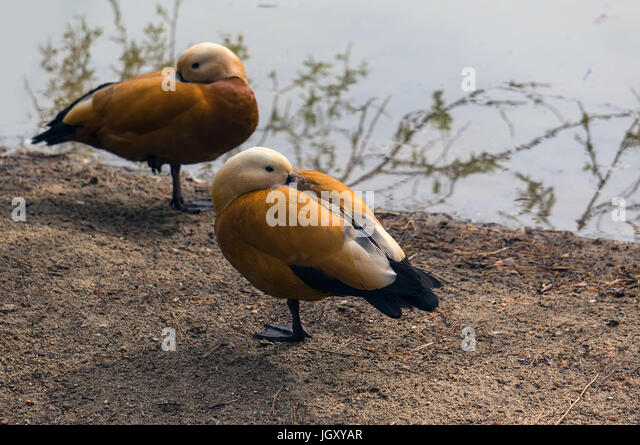 Female Teal ducks stay together and sleeping on the ground - Stock Image