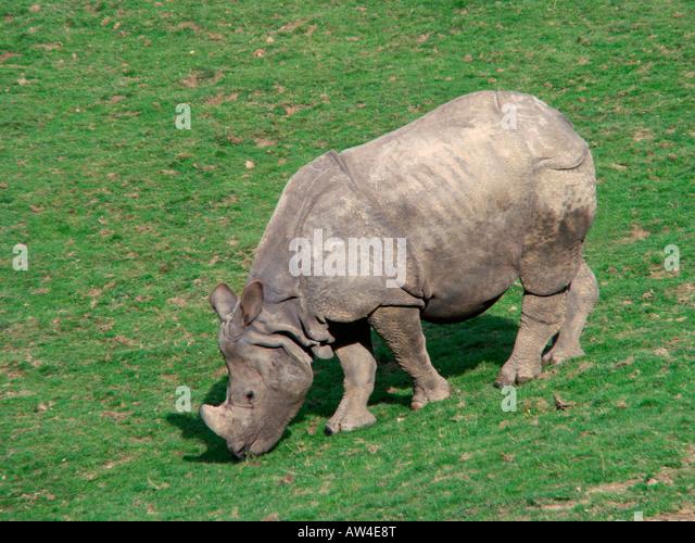Rhino indien greater Indian rhinoceros great Indian One horned rhinoceros Rhinoceros unicornis Birma Bulle Burma - Stock-Bilder