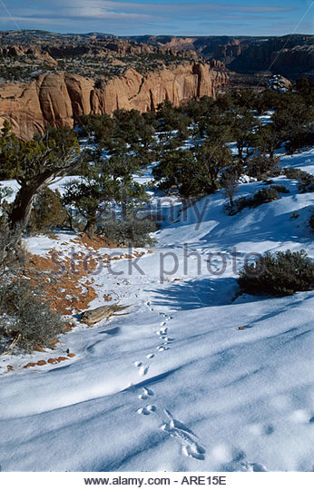 Arizona Navajo National Monument Tsegi Canyon Rim fox tracks in snow near Betatakin Anasazi Ruins - Stock Image