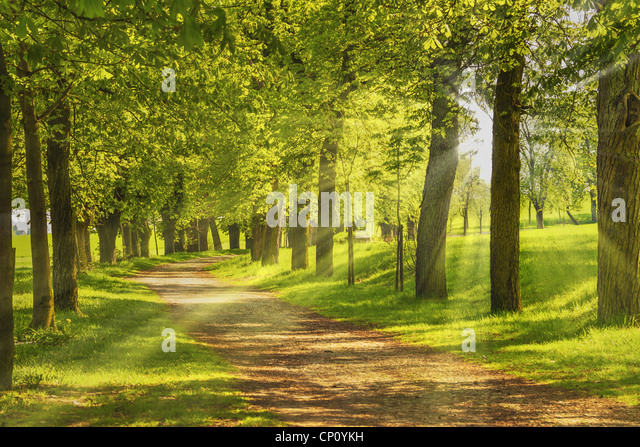 Baumallee, die Sonne scheint duch die Bäume | Avenue of trees, the sun shining through the trees - Stock Image