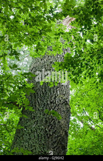 Old oak trunk among hornbeam branches,Bialowieza Forest,Poland,Europe - Stock Image
