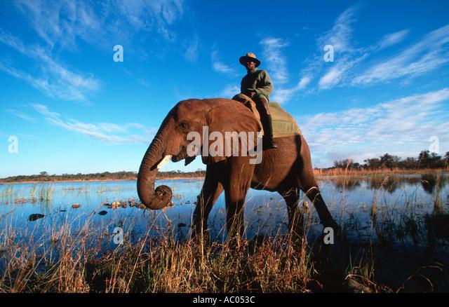 African elephant Loxodonta africana Trained African elephants with their mahout Wild Horizons Elephant Camp Zimbabwe - Stock Image