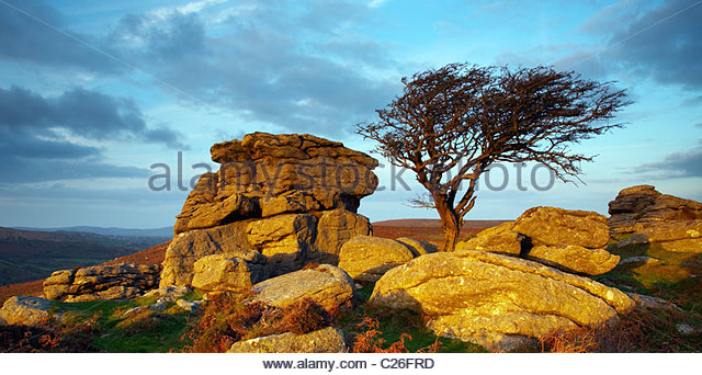 Autumn evening light on hawthorn and granite outcrop, near Saddle Tor, Dartmoor National Park, Devon, England, UK - Stock Image