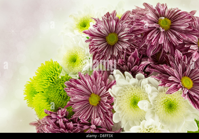 Red striped,green and white chrysanthemum flowers on a diffused background. - Stock Image