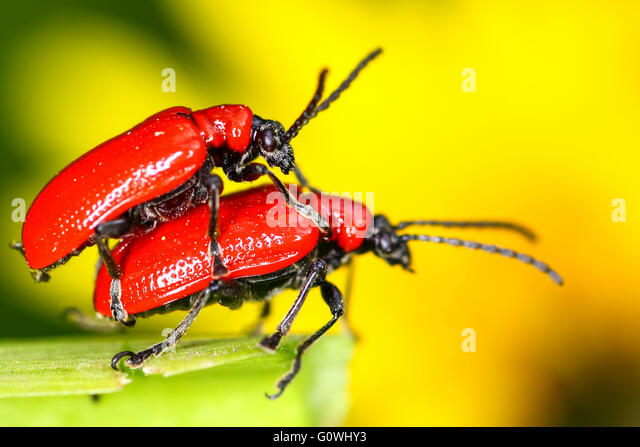 Leeds, West Yorkshire, UK. 5th May, 2016. UK Weather: Scarlet lily beetles generally emerge on sunny days in March - Stock Image