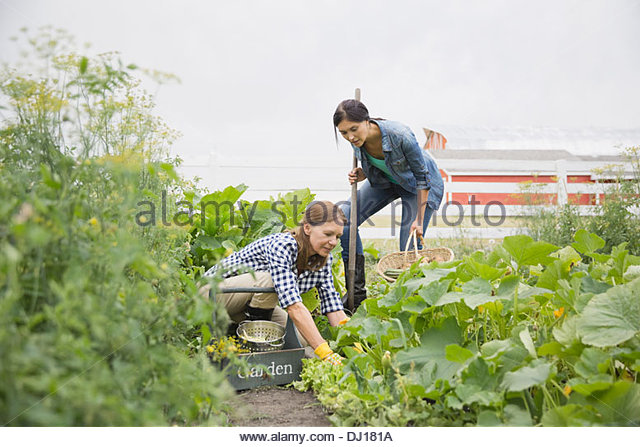 Mother and daughter harvesting vegetables in garden - Stock Image