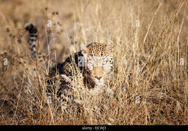 A leopard hunts in the Bushveld - Stock Image
