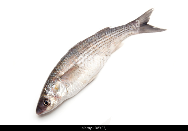 Mugil cephalus stock photos mugil cephalus stock images for Eating mullet fish