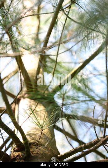 pinus wallichiania a stunning pine tree atmospheric JABP442 - Stock Image