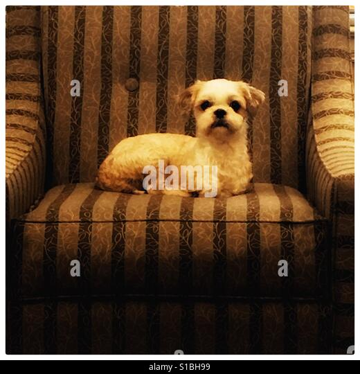 Dog on chair - Stock Image