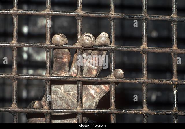 Hand of circus chimpanzee, Great Royal Circus, Bombay, India. - Stock Image