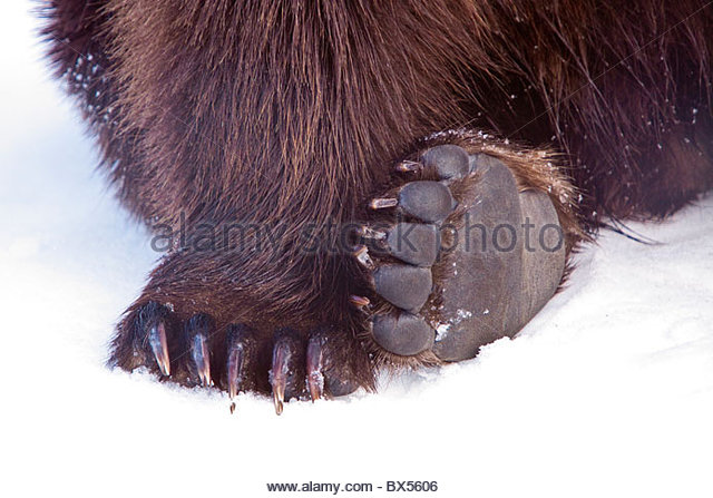 Feet & Pads of Grizzly Bear at AWCC, Alaska Wildlife Conservation Center - Stock Image