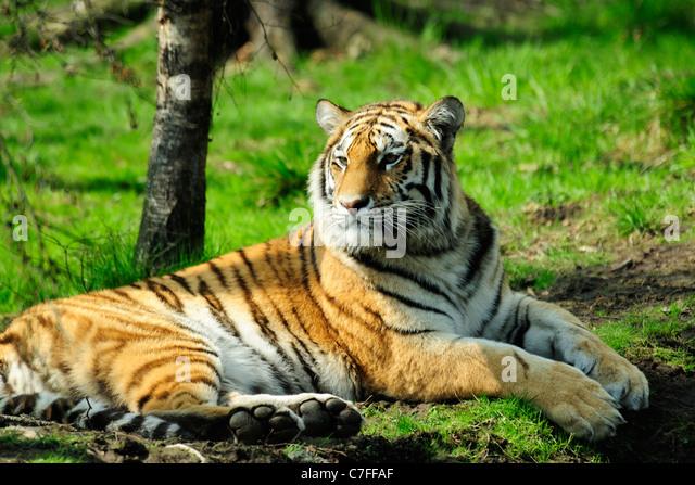 Amur tiger (panthera tigris altaica) originally known as Siberian Tiger, Highland Wildlife Park, Kincraig, Kingussie, - Stock Image