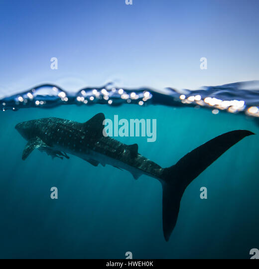 Whale Shark (Rhincodon typus) - Stock Image