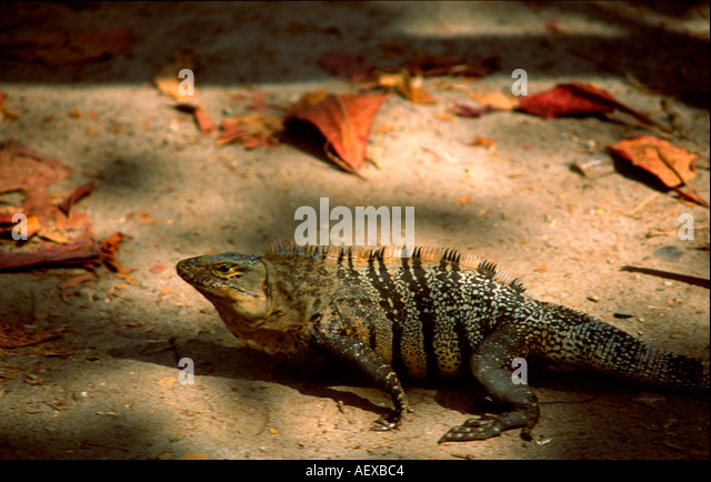 Costa Rica Maunel Antonio Nationalpark Leguan  - Stock Image
