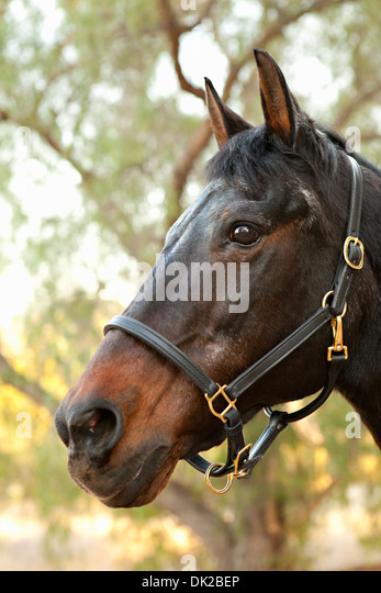 Close up of brown horse face in front of tree - Stock Image