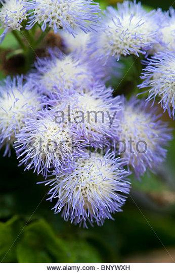 Ageratum Artist Alto Delft . Floss Flower - Stock Image